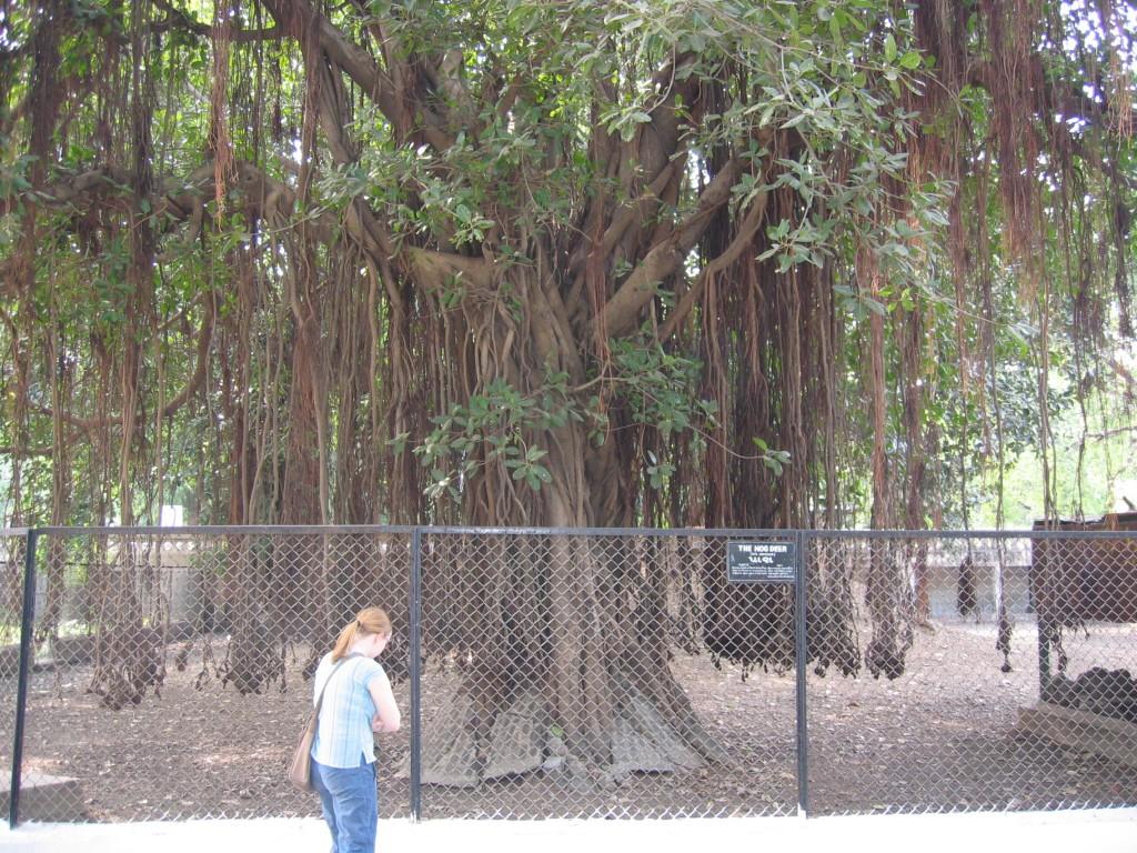 Maiju ja liaanipuu