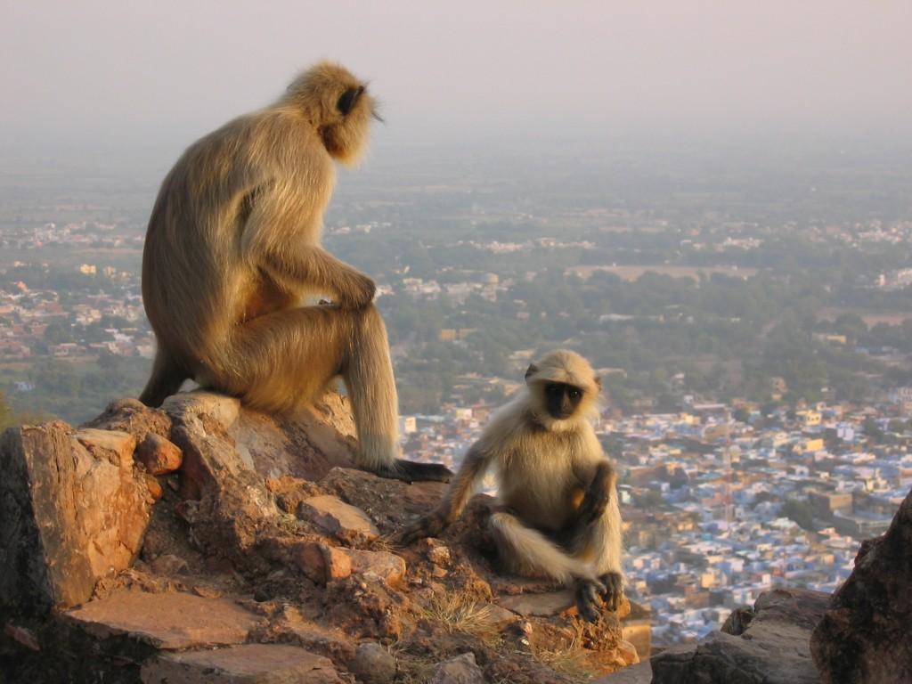 Apinat ilta-auringossa