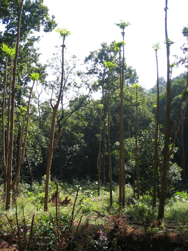 SImilipalin viidakkoa