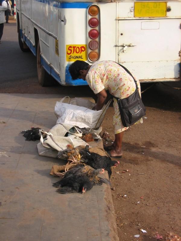 Mapusan bussiin oli laitettu kana poikineen takakonttiin
