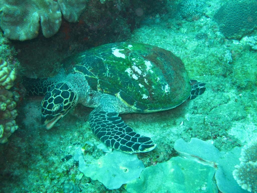 Yksi kilpikonnista