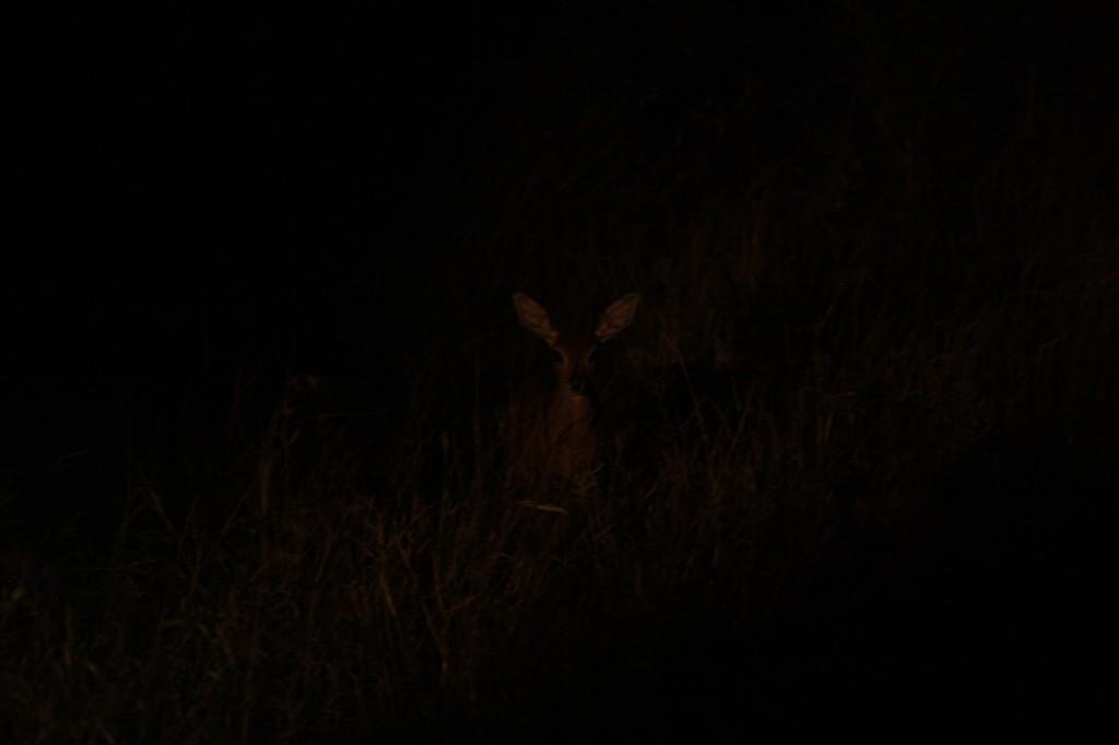 Grysbok pimeässä