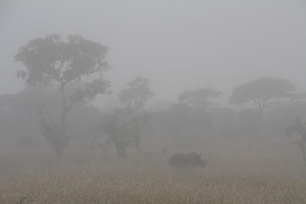 Sarvikuono sumuisella pellolla