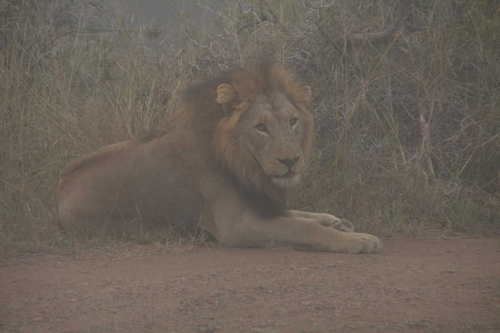 Leijona aamulla lekottelemassa