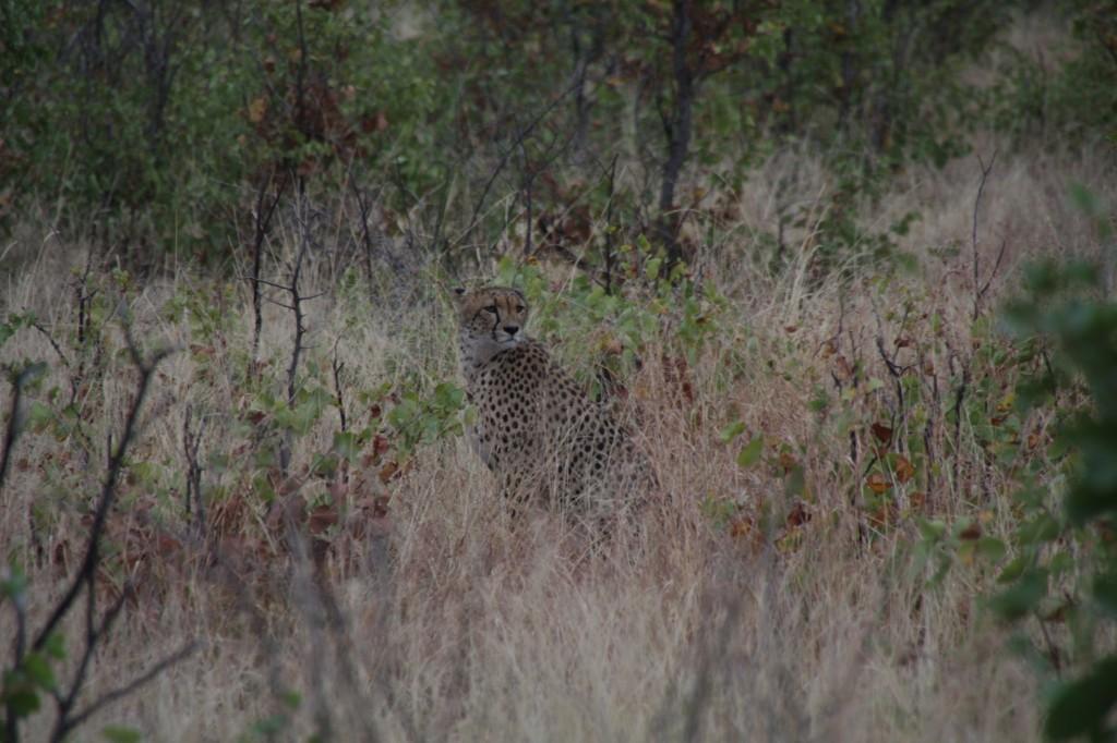 Cheetah eli gepardi
