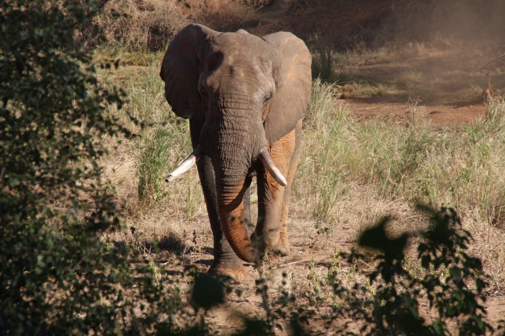 Tässä norsu on vielä kohtuullisen turvallisesti joenpohjalla