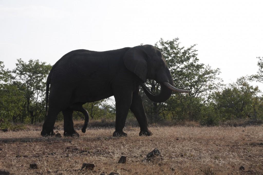 Viisijalkainen norsu