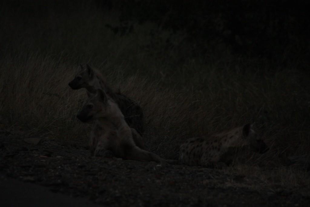 Hyeenat tienposkessa