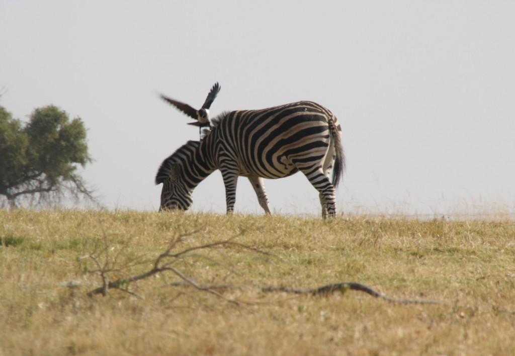 Zebra-ystävä