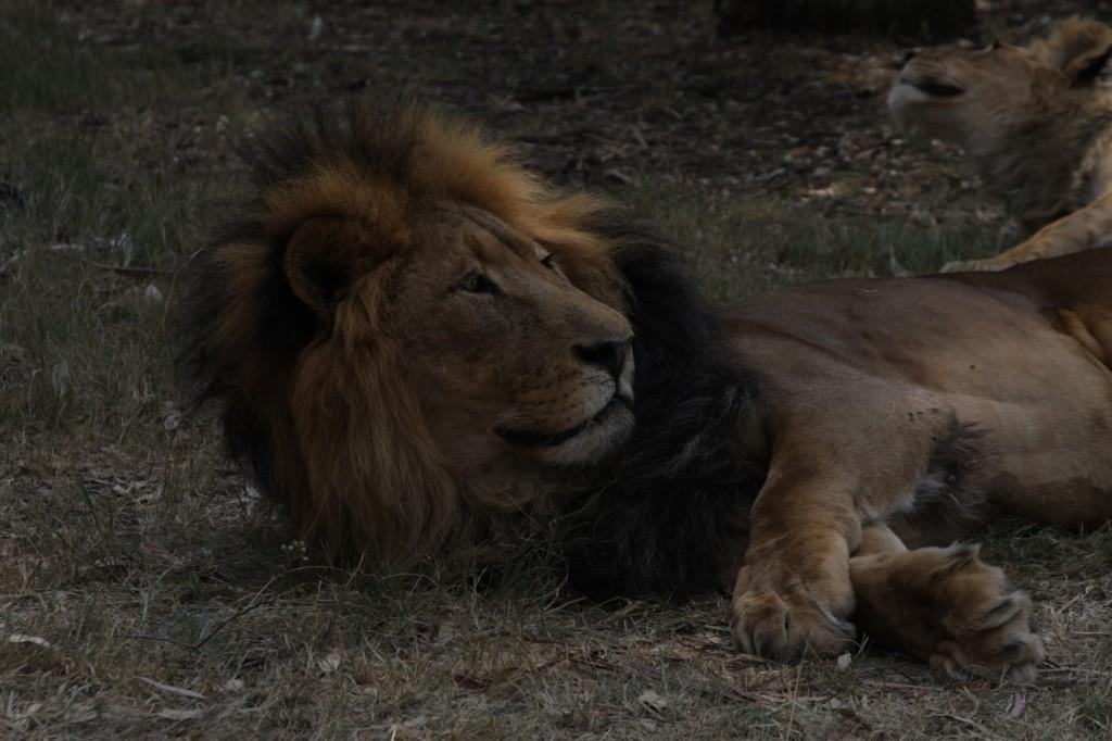 Leijona, tavallinen