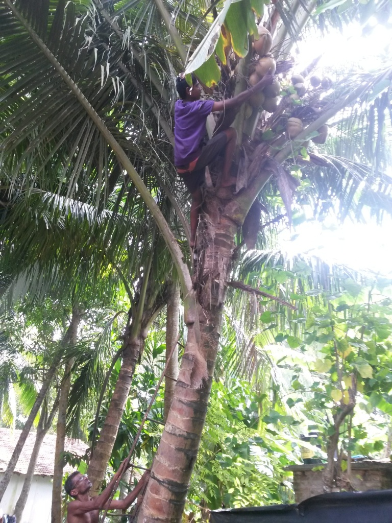 On our walk-about, we were lured into some peoples yard to drink some coconut. Naturally we then had to pay for it, though, it was fun to watch this boy climb up there quite hazardously to fetch the coconut. Sadly, he had to try three times to have one land undamaged. Unfortunately Eero missed to whole thing as he was just sleeping.