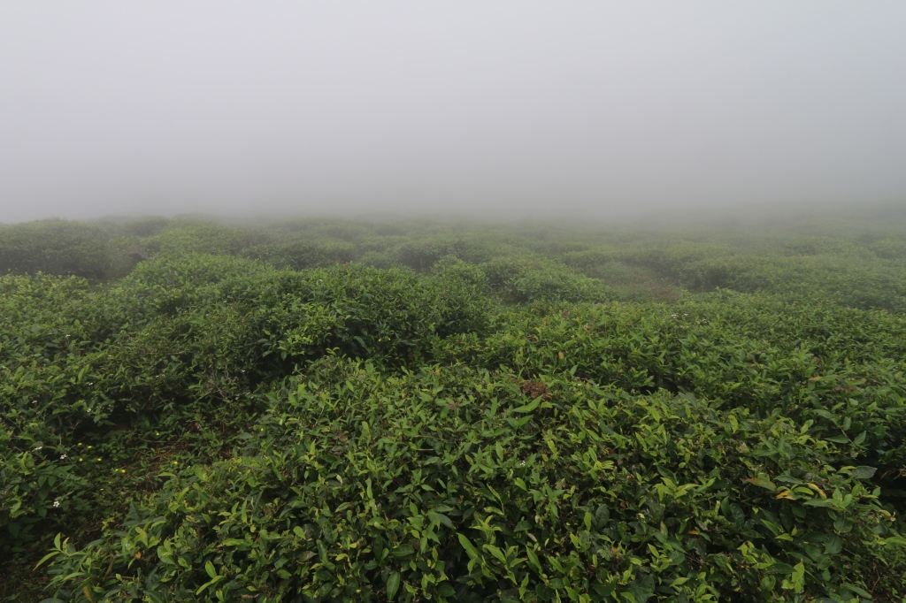 Tea Plantation Loop