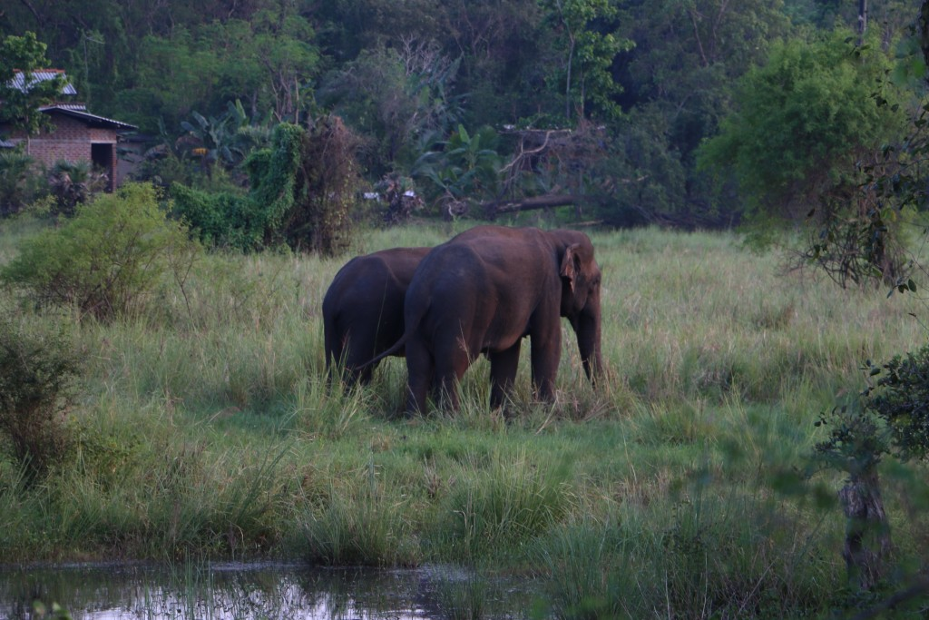 We didn't have time to visit Minneriya National Park to see some elephants. Luckily, we were able to see some next to the road!